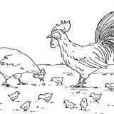 hen-rooster-and-chickens-5530